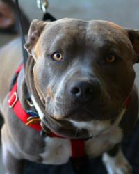 Formation obligatoire : propriétaires chiens ''dangereux''